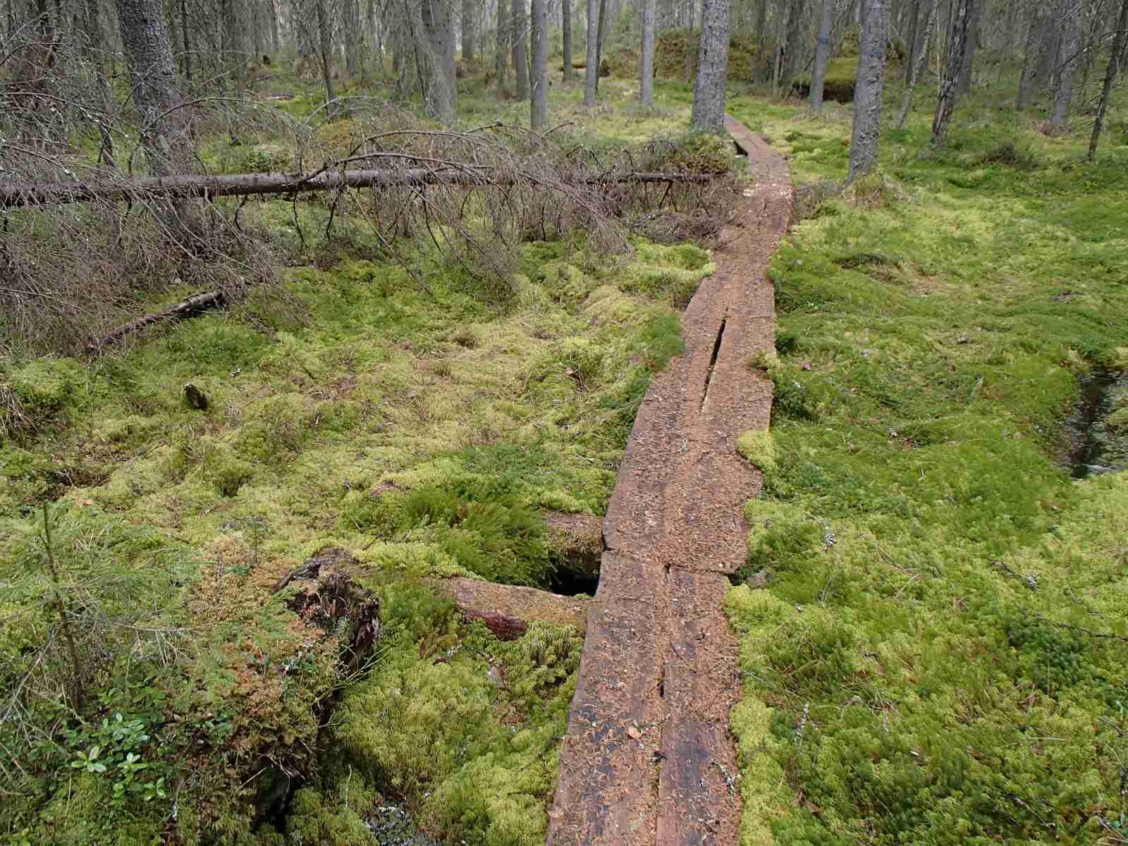 Pyhä-Häkki, vanha metsä