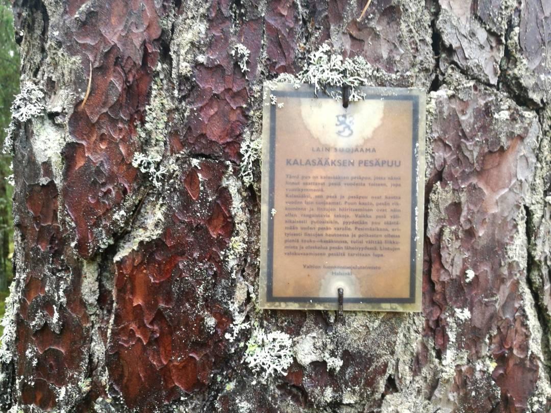Kintulammen retkeilyalue Kalasääksen pesäpuu